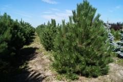 Pinus nigra austriaca<br> Сосна чорна австрійська