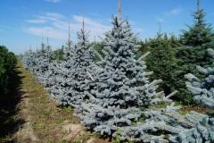 Picea pungens Hoopsii<br> Ялина колюча Хупсі
