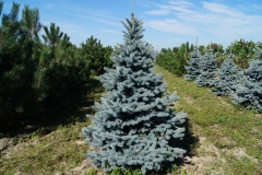 Picea pungens Oldenburg<br> Ялина колюча Ольденбург