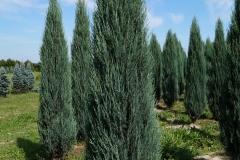 Juniperus scopulorum Blue Arrow<br> Ялівець скельний Блю Арров