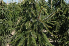 Picea omorica Pendula<br> Ялина сербська Пендула