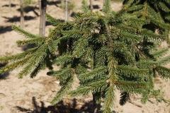 "Picea abies ""Inversa"" Pa<br> Ялина звичайна Інверса"
