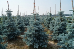 "Picea pungens ""Oldenburg"""