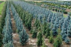 Picea pung. Isseli Fastigiata<br> Ялина Іселі Фастігіата