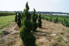 Thuja occidentalis Smaragd<br> Туя західна Смарагд