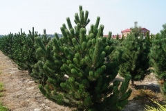 Pinus nigra Oregon Green<br> Сосна чорна Орегон Грін