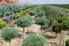 """Pinus syl. """"Watereri"""" Pa<br> Сосна звичайна Ватерері"""