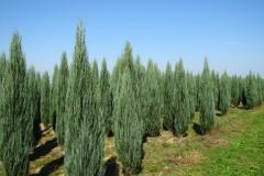 Juniperus scop. Blue Arrow<br> Ялівець скельний Блю Арров